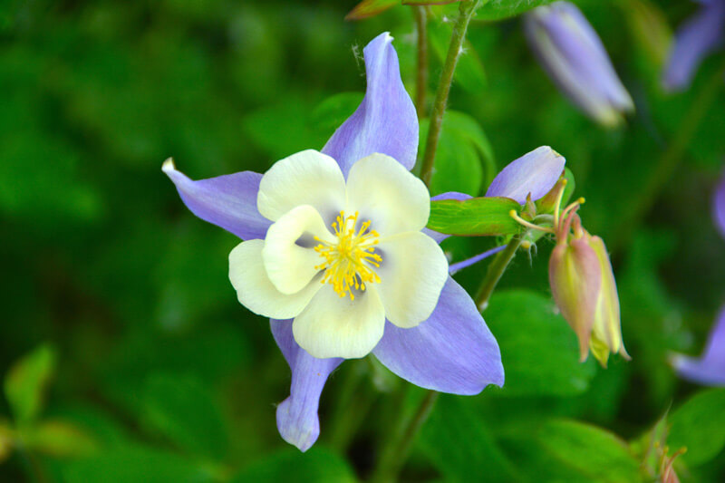 Image of Colorado State flower, the blue columbine.